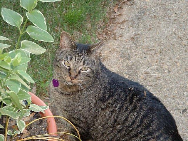 tabby cat outside in garden by plant