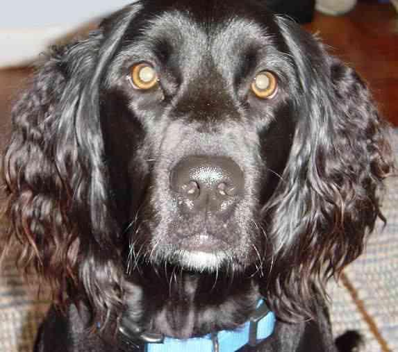 black retriever/spaniel mix dog